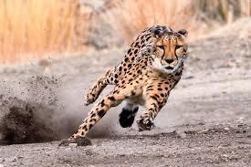 Name:  Cheetah.jpg Views: 119 Size:  10.3 KB