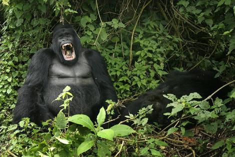 Click image for larger version  Name:gorilla_wideweb__470x314_0.jpg Views:149 Size:56.3 KB ID:90839