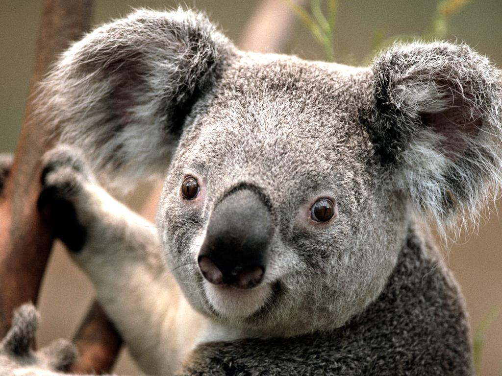 Click image for larger version  Name:Koala.jpg Views:108 Size:762.5 KB ID:160770