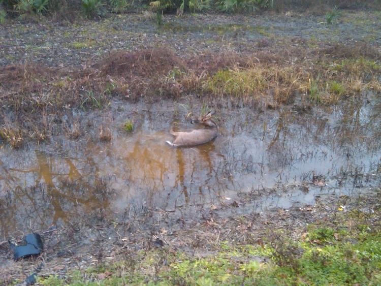 The deer I hit.  A 5 point buck.